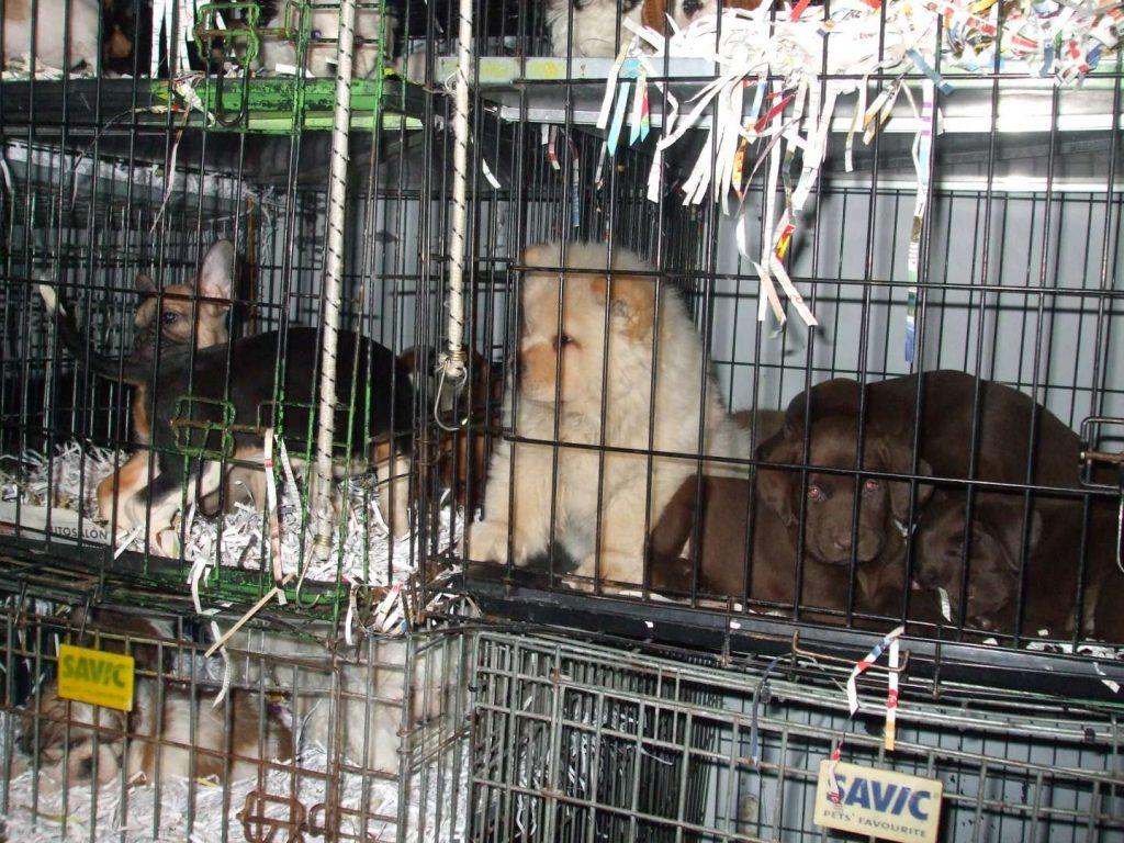 Welpen in kleinen Gitterkäfigen bei einem Welpentransport (Foto: Deutscher Tierschutzbund/Landesverband Bayern e.V.)