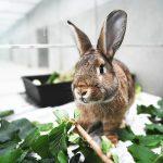 Braunes Kaninchen mit Grün im Tierheim-Gehege (Foto: Tierheim Berlin